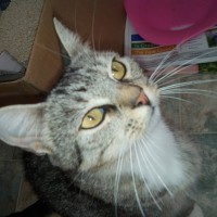 TABBY FEMALE CAT NEEDS SOMEONE TO GIVE A LOVELY FUTURE