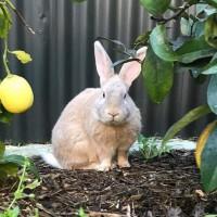 Flemish Giant Rabbit needs a home!