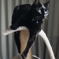 Beautiful black cats for adoption