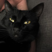 5 year old black American Shorthair female cat looking for a new home