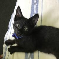 Cross eyed kitten for adoption