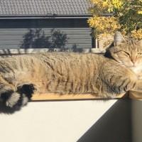 Independent lap loving cat