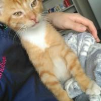Neutered Male Ginger Kitten