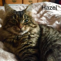 Cats Protection Canterbury - Hazel ADOPTED