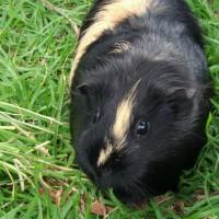 Lonely 2 yr old female guinea pig needing guinea pig company.
