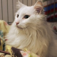 Cats Protection Canterbury - Le Blanc ADOPTED