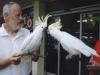 Cockatoo (male) needs loving home - p13-posing-for-the-tourists_7a90c12900d723e2cb44431c9abcef7b